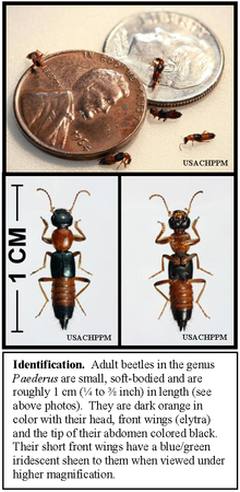220px-Paederus_rove_beetles,_showing_size